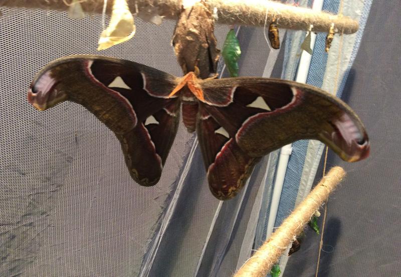 В Мысках родилась самая большая бабочка