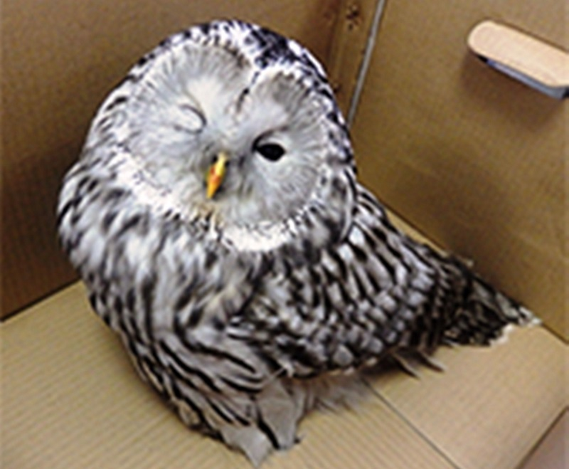 И снова про сову найденную в городском сквере в Мысках