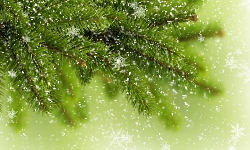 Новогодние ели могут быть заражены пихтовым усачём