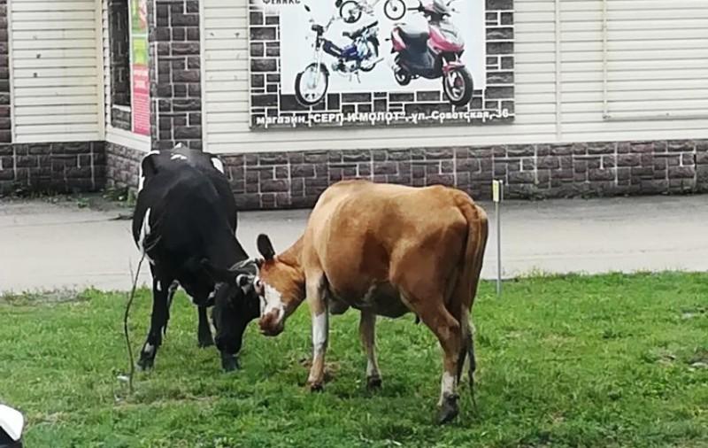 В Мысках владельцев гуляющих по улицам коров будут штрафовать