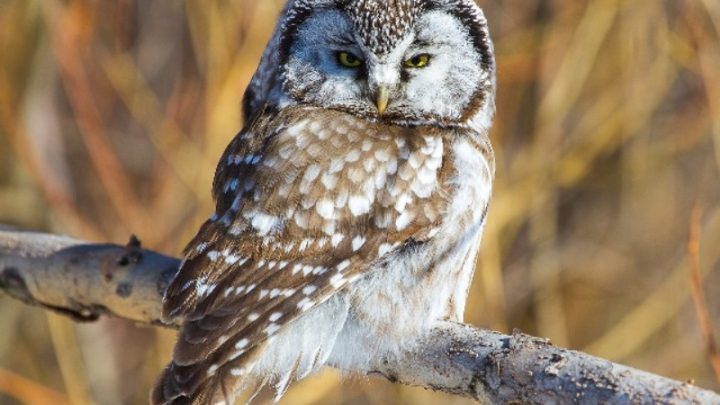 В экологический центр «Кузнецкий Алатау» мысковчанин привез птицу – мохноногий сыч