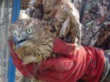 В экологическом центре «Кузнецкий Алатау» было отпущено две хищных птицы