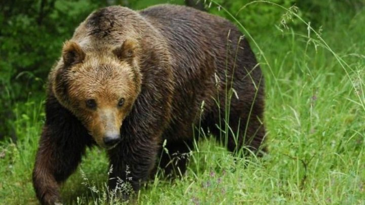 На улицах Киселевка заблудился настоящий медведь