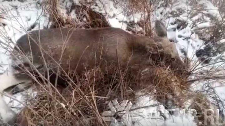 В Мысках подстреленный лось пришел за помощью к людям